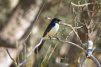 Willie Wagtail, Kooloobung Crk Park, Port Macquarie, NSW, Australia