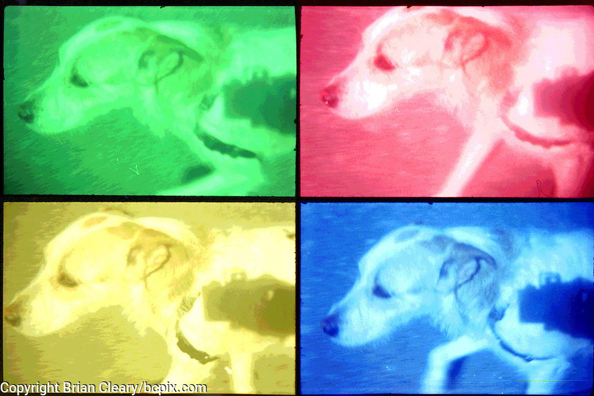 Our dog Willow, shot on 35mm film with Pop Cam camera, , Sarasota, FL.  (Photo by Brian Cleary/www.bcpix.com)