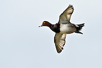 Redhead Duck in Flight