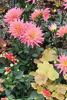 Cactus Dahlias and yellow leaved Heuchera in bloom