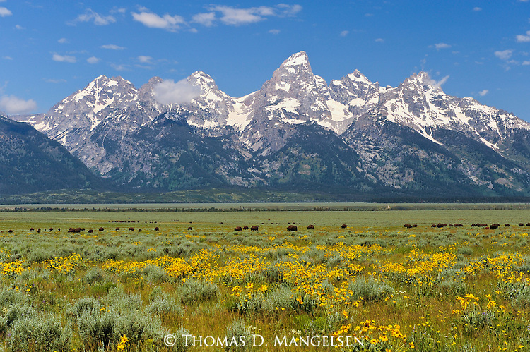 Bison grazing among wildflowers in Grand Teton National Park, Wyoming.