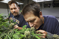 "USA. Colorado state. Denver. The brothers Andy Williams (L) and Pete Williams (R) are the owners of Medicine Man, Andy is president and Pete chief operating officer. During a quality control, they both smell cannabis flowers heads in one of their marijuana grow rooms. Cannabis buds just look like a knobby tangle of leaves, but the calyx is what actually comprises the female flower. Underneath those tiny leaves (called ""sugar leaves"") stand tear-shaped nodules which are the calyxes, and they come in many different shapes, sizes, and colors. Calyxes typically contain high concentrations of trichomes, or glands that secrete THC and other cannabinoids. Medicine Man began nearly six years ago as a small medical marijuana operation and has since grown to be the largest single marijuana dispensary, both recreational and medical, in the state of Colorado and has aspirations of becoming a national brand if pot legalization continues its march. Cannabis, commonly known as marijuana, is a preparation of the Cannabis plant intended for use as a psychoactive drug and as medicine. Pharmacologically, the principal psychoactive constituent of cannabis is tetrahydrocannabinol (THC); it is one of 483 known compounds in the plant, including at least 84 other cannabinoids, such as cannabidiol (CBD), cannabinol (CBN), tetrahydrocannabivarin (THCV), and cannabigerol (CBG). 18.12.2014 © 2014 Didier Ruef"