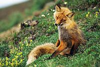 Red fox on summer tundra, Denali National Park, Alaska
