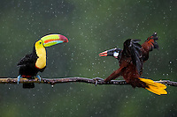 Encounter between a Montezuma Oropendula (Gymnostinops montezuma) and a Keel-billed Toucan (Ramphastos sulfuratus), Santa Rita, Costa Rica