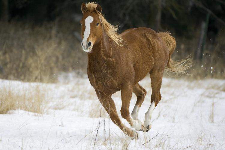 Horse running through a snowy field