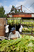 Organic tobacco harvest, Pine Knot Farms, Thursday, September 6, 2012.