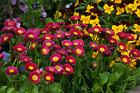 Red English Daisy flowers (Bellis) in garden bed