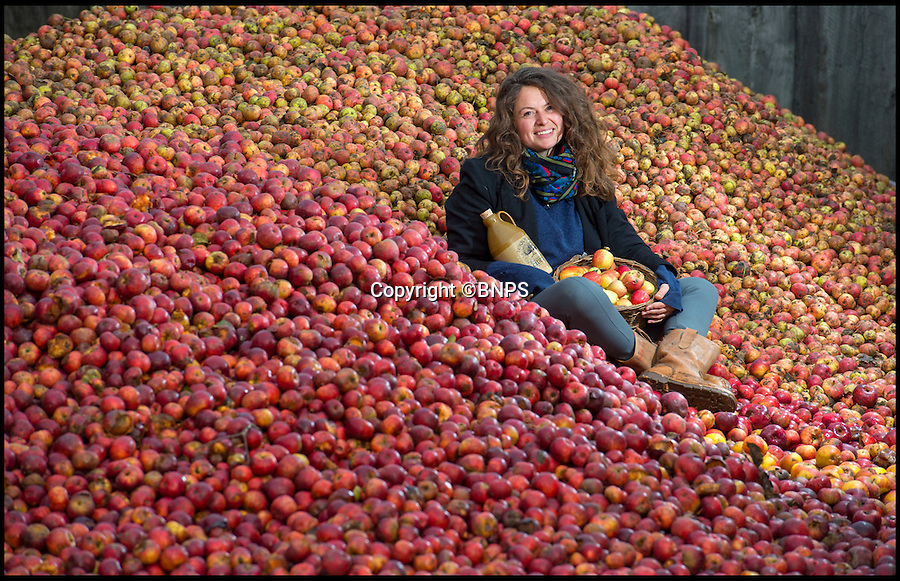 BNPS.co.uk (01202 558833)<br /> Pic: PhilYeomans/BNPS<br /> <br /> Hannah Leggel of Burrow Hill Cider amongst their huge crop of Kingston Black apples.<br /> <br /> Britain celebrates its biggest cider crop in twenty years<br /> <br /> Top cider maker Julian Temperley is heralding his biggest crop of apples in 20 years thanks to the dry spring and wet summer - but it's not all good news because it means next year's harvest will be poor.<br /> <br /> Mr Temperley says his 170 acres of Somerset orchards will yield a staggering 2,000 tonnes of apples this year, 500 tonnes more than expected.<br /> <br /> The mammoth haul is so huge that it will take a team of 15 staff a back-breaking three months to press all the apples - and it will then leave them with almost a million litres of cider.<br /> <br /> But because apple trees work on a biannual cycle - whereby a good year is followed by a bad one - the forecast for next year's crop is poor.