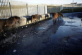 """Dublin, Ireland, January 6, 2011:.Homeless horses on the street in Finglas estate. .Since the beginning of crisis, between 10 and 20 thousand horses have become homeless or went in the hands of the youths in urban areas. Lots of Irish people who used to buy horses for fun during the boom years of """"Celtic Tiger"""", now are abandoning them faced with expenditure of 35 Euro a week to properly maintain a horse. This animal previously worth 2000 Euro now can be purchased for as little as 80 Euro. New owners keep their horses in city greens, city ruins, or their house gardens, in very bad conditions. Most do not get much food, many are starving, dying, being mistreated..(Photo by Piotr Malecki / Napo Images)..Dublin, Irlandia, 6/01/2011:.Bezdomne konie na ulicy w dzielnicy Finglas..Od poczatku kryzysu od 10 do 20 tysiecy koni zostalo wyrzuconych na ulice przez wlascicieli nie chcacych placic okolo 35 Euro/tydzien za ich utrzymanie. Wpadaja one czesto w rece mlodziezy z ubogich dzielnic miasta, ktora handluje nimi, bije, glodzi, trzyma w skrajnie trudnych warunkach, w przydomowych ogrodkach lub ruinach budynkow i szaleje na nich po miescie. Kon, ktory byl wart 2000 Euro teraz moze byc kupiony za 80. .Fot: Piotr Malecki / Napo Images."""