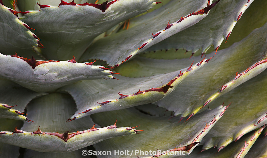 Succulent gray foliage leaf Agave with maroon thorns