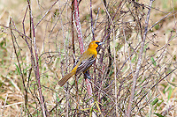 Streak-Backed Oriole, Teacapan, Mexico