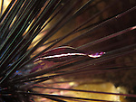 Kenting, Taiwan -- The shrimp Stegopontonia  commensalis among the spines of a sea urchin.<br />