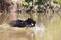 Great Black Hawk (Buteogallus urubitinga) hunting, Pantanal, Brazil