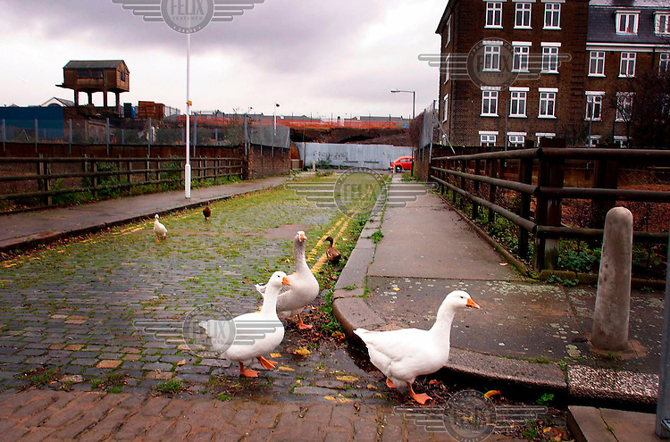 Ducks and geese from the East End City Farm wandering the city streets.