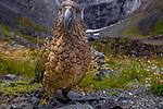Kea or mountain parrot, New Zealand