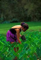 Young girl working in the taro fields in Waipio Valley on the Big Island