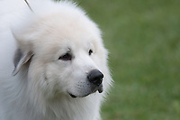 AKC Dog Show with Great Pyrenees showing in NY