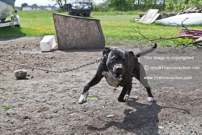 A Pit bull dog is seen in a backyard in Saint-Laurent, Manitoba Sunday May 29, 2011. A Pit bull is any of several breeds of dog in the molosser breed group.