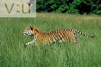 A Bengal Tiger running through tall grass.