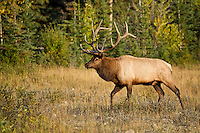 Trophy bull elk in autumn