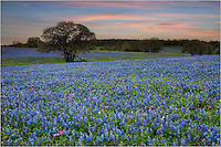 This bluebonnet image comes from a little road south of Seguin, Texas. Wildflowers were everywhere and I visited this location several times in the spring of 2014.