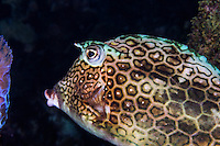 Honeycomb cowfish photograph