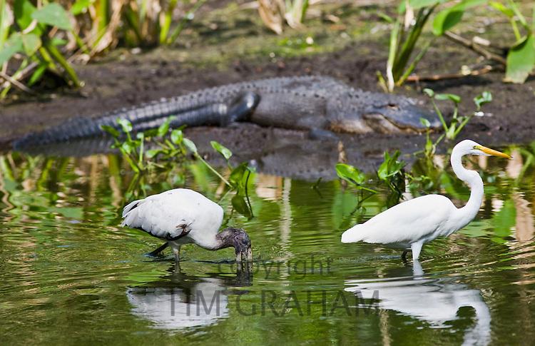 Typical Everglades scene of Alligator, egret and endangered species Wood Stork (Mycteria americana) at Fakahatchee Strand, Florida, USA