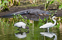 Typical Everglades scene of Alligator, egret and endangered species Wood Stork (Mycteria americana) at Fakahatchee Strand, Florida, USA
