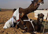 Camels have help mating at the Ramez Al Menhali compound during the Camel Beauty Contest.