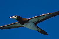 Namotu Island Resort, Fiji.  (Tuesday, March 15, 2011) A cormorant cruising and looking for food.. Photo: joliphotos.com
