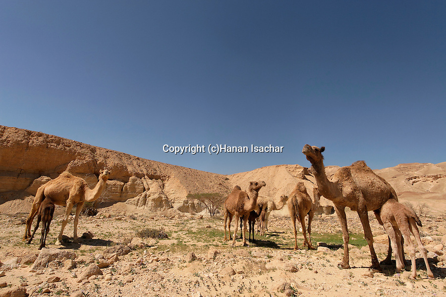 Israel, Camels at Wadi Gov in the Negev desert