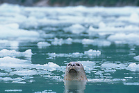 Harbor seal pokes its head out among the  floating ice bergs in Meares Inlet, Prince William Sound, Alaska