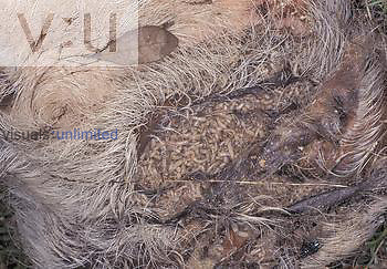 Decomposing pig carcass colonized by maggots. Because pig tissue is similar to human tissue, it is often used in forensic research and studies or instructional workshops.