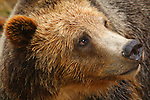 Grizzly bear (Ursus Arctos horibilis)
