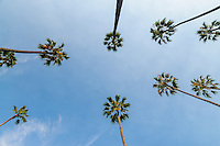 Palm Trees, Beverly Hills, CA, California