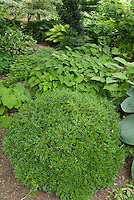 Shady garden perennials hostas, epimedium, Galium odoratum sweet woodruff, ferns, boxwood Buxus Green Velvet, Heuchera villosa