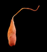 Peranema is a flagellated Protozoa commonly found in freshwater habitats. They have two flagella, one anterior and another posterior. SEM X1980 **On Page Credit Required**