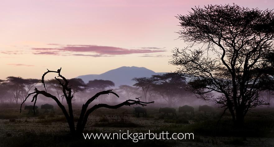 Column of White-bearded Wildebeest (Connochaetes taurinus albojubatus) migrating through Acacia woodland at dawn. Near Ndutu, Ngorongoro Conservation Area, Serengeti Ecosystem, Tanzania. (digitally stitched image)