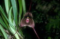 Orchid species Dracula diabola