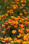 California poppies at Waddell Creek