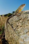 Male Lizard (Podarci bocagei)  on a stone, Portugal.