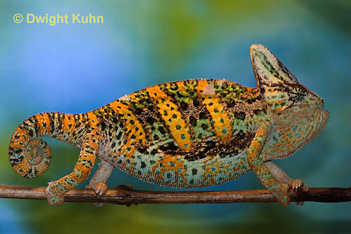 CH39-522z  Male Veiled Chameleon in display colors, Chamaeleo calyptratus