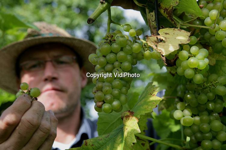 Foto: VidiPhoto..DIEREN - Wijnboer Youp Cretier controleert zijn druiven bij Domein Hof te Dieren, een 2 ha. grote biologische wijngaard. De oogst is dit jaar twee weken later dan andere jaren door het gebrek aan zon en een teveel aan regen. Domein Hof te Dieren is de grootste ommuurde wijngaard van Nederland.