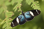 La Guacima de Alajuela, Costa Rica; a Doris Longwing Butterfly (Heliconius doris) sits wings spread on a leaf , Copyright © Matthew Meier, matthewmeierphoto.com All Rights Reserved
