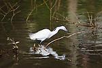 Little Egret (Egretta garzetta) from the bird family Ardeidae, wading in a shallow lake in north Cornwall