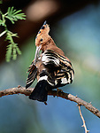 Crested Hoopoe, Tarangire National Park, Tanzania