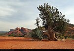 Old Pinyon Pine and Cathedral Rock, Sedona, Arizona