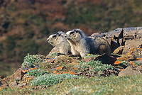 Hoary Marmots on mountain ridge, Denali National Park, Alaska.
