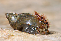 Schneckenhaus-Nistkäfer, Larve erbeutet und frisst Schnecke, Schneckenhauskäfer, Drilus concolor, False firefly beetle, bug, larva, Drilidae, False firefly beetles
