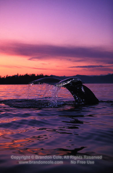 km2115. Humpback Whale (Megaptera novaeangliae), tail flukes at sunset. Southeast Alaska, USA, Pacific Ocean..Photo Copyright © Brandon Cole. All rights reserved worldwide.  www.brandoncole.com..This photo is NOT free. It is NOT in the public domain. This photo is a Copyrighted Work, registered with the US Copyright Office. .Rights to reproduction of photograph granted only upon payment in full of agreed upon licensing fee. Any use of this photo prior to such payment is an infringement of copyright and punishable by fines up to  $150,000 USD...Brandon Cole.MARINE PHOTOGRAPHY.http://www.brandoncole.com.email: brandoncole@msn.com.4917 N. Boeing Rd..Spokane Valley, WA  99206  USA.tel: 509-535-3489